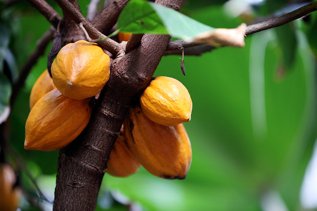 Débat : L'impact de la filière cacao sur l'économie du Cameroun